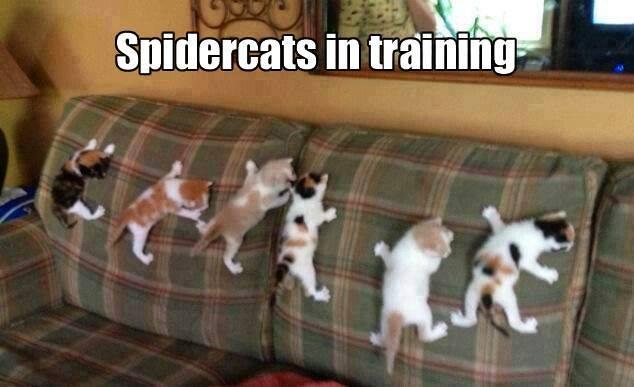 Funny Animal Memes - spidercats