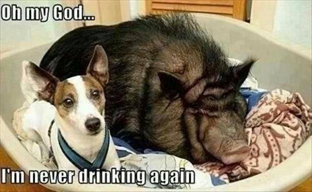 Funny Animal Memes - never drinking again
